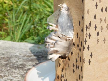 La boîte à champignons - Faire pousser des pleurotes à la maison !
