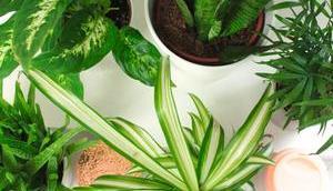 Plantes pour Purifier l'Air Propriétés Entretien